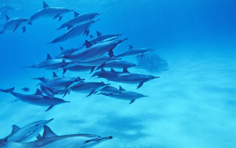 Croisiere Dauphin et Requin (Daedalus-Fury Shoal-Elphinstone)